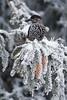 Tannenhäher - Spotted Nutcracker (Claudia Brockmann) Tags: natur nature sofia bulgarien wald forest schnee winter snow bird birds singvogel tannenhäher spottednutcracker wildlife vögel vogel tanne