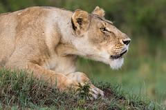 Lost Lioness (arcadia1969) Tags: maasaimara kenya africa lion cheetah lioness wildanimal davidlloydsafari safari