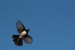 180116_Willy Wag Tail_Flight_02 (Pusher141) Tags: willywagtail pineylakes d750 nikkor200500 bird birds ornithology flight feeding insects