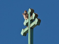 Christo (Goggla) Tags: nyc new york east village urban wildlife bird raptor red tail hawk adult male christo st saint nicholas myra church cross goglog