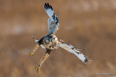 Rocket man (Earl Reinink) Tags: raptor predator bird animal wildlife flight hawk roughleggedhawk earl reinink earlreinink ratardadza
