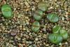 19/01/2018 - Cephalophyllum spissum RH3285, 29 jours (Mafate79) Tags: 2018 cephalophyllumspissumrh3285 cephalophyllum spissum rh3285 aizoaceae aizoacées aizoacée mesemb mesembryanthemaceae mesembryanthemacées mesembryanthemacée plante semiss17076