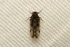 Hemiptera sp, (Hopper) - South Africa (Nick Dean1) Tags: animalia arthropoda arthropod hexapoda hexapod insect insecta hemiptera plantbug planthopper satara krugernationalpark southafrica