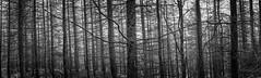 In The Woods (Swirly_Magnolia) Tags: panorama pano woods wood tree trees wide angle forest black white mono monochrome vast pine tall copse swirly magnolia wwwswirlymagnoliacom deep dark lake district south lakes uk england windermere walk