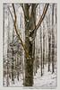 neve-alberi-foglie-Paolo-Maggiani-Photos-D61018P_MAG7884 (Paolo_Maggiani) Tags: tree trees wood woods foresta foreste bosco boschi neve snow mountain montagna cerreto toscana italy emilia cerretolaghi