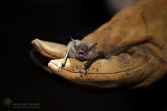 IMG_7376 Bat Round Up ©Dancing Snake Nature Photography (Dancing Snake Nature Photography) Tags: arizona nature photography dancingsnakenaturephotography arizonagameandfish tagging bat