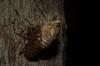 Psaltoda emergent (dustaway) Tags: arthropoda insecta hemiptera auchenorrhyncha cicadidae cicadinae cryptotympanini psaltoda cicada australianinsects tullera nature northernrivers nsw australia