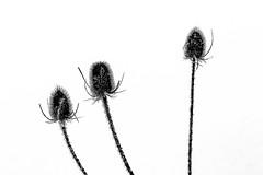 thistly (++sepp++) Tags: bayern deutschland eis frost kälte lechfeld rauhreif raureif reif schnee wetter winter cold hoarfrost kalt graben de bavaria natur nature closeup nahaufnahme pflanzen plants wildekarde wildteasel silhouette snow