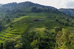 Zelený ráj (zcesty) Tags: vietnam22 terasa rýže pole krajina hory vietnam dosvěta hàgiang vn