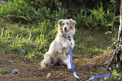 gio (kirstinenichols) Tags: australian shepherd aussie dog canine animal animals portrait outdoors dogs puppy