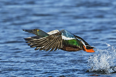 Shoveler duck - Razzle dazzle (Ann and Chris) Tags: avian amazing bird beak close duck flying gorgeous colourful nature rutlandwater rutland stunning wildlife wild wings water shoveler