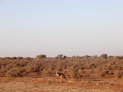 Western Australia (catarinaestacio) Tags: western australia westernaustralia wildlife nature explore roadtrip kangaroo