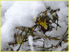 Winterjasmin-Winter Jasmine (Anke knipst) Tags: gelb yellow snow schnee winter winterjasmin winterjasmine blüte flower shrub busch