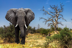 Elephant and Leadwood (PhilHydePhotos) Tags: africa botswana chitabecamp elephant okavangodelta safari