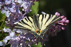 Iphiclides podalirius (karol.ox) Tags: insect nature animal summer garden invertebrate wildlife butterfly lepidoptera iphiclides podalirius