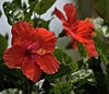 Wednesday Morning Reds (ACEZandEIGHTZ) Tags: nikon d3200 hibiscus red leaves green floral bush dof