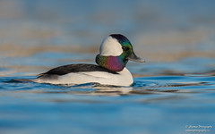 Bufflehead (Drake) (salmoteb@rogers.com) Tags: duck wild wildlife ontario canada bufflehead male water
