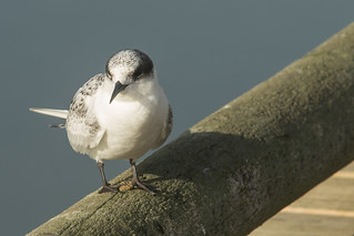 20180212_3710_7D2-265 Juvenile White-fronted Tern