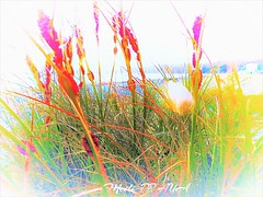 376. BEACHSIDE 17: Dune Color Splash (Meili-PP Hua 2) Tags: plant plants flora leaves mlpphflora grass flax weeds dunes sanddunes grassflowers harestail harestailflowers coastalplants coastalvegetation grasses macro flower neon abstract painterly fauxart shadows silhouettes bright neoncolours colorful vivid photographypassionsxyz