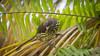 Palmchat (guiporcher) Tags: bird dominican republic ave hispaniolan hispaniola birdwatch caribe republica dominicana bávaro canon palmchat