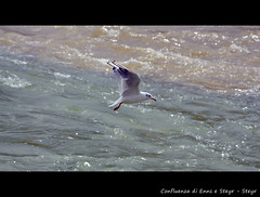 Steyr (geraf) Tags: steyr österreich gabbiano seagul