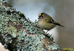 Goldcrest in Central Park, Plymouth, UK. Image 4. (ronalddavey80) Tags: goldcrest canon eos70d tamron 70300mm