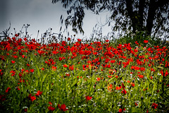 backlit field (quietusleo) Tags: israel negev desert flower flowers anemone red green nature landscape flora still life