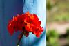 Bon, c'est un géranium, c'est tout (brunomalfondet) Tags: potosi rouge géranium bolivie fleur bleu commeundrapeau bleuetrouge