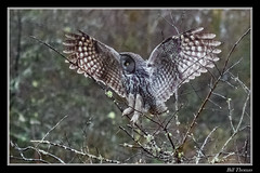 Great Grey Owl-4 (billthomas_steel) Tags: greatgrayowl owl greatgreyowl hunting fraservalley britishcolumbia canada canon eos7dmarkii wildlife owlsofthepacificnorthwest strixnebulosa trees bird raptor