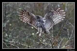 Great Grey Owl-4