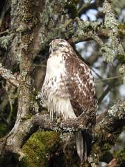 Possible Juvenile Red Tailed Hawk (Diamond Brooke) Tags: bird wild hawk red tree