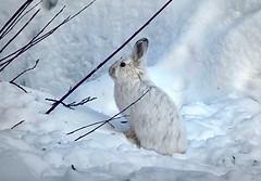 The Easter Bunny? (JLS Photography - Alaska) Tags: alaska animal animals rabbit bunny snowshoehare jlsphotographyalaska hares hare wildlife snow winter nationalgeographicwildlife