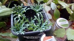 Marguerite cuttings just taken 22nd February 2018 (D@viD_2.011) Tags: marguerite cuttings just taken 22nd february 2018