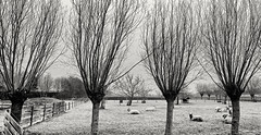 The Art Of Hanging Around On Frozen Ground (Alfred Grupstra) Tags: blackandwhite tree nature winter fence outdoors monochrome landscape nopeople baretree scenics england branch parkmanmadespace white ruralscene grass tranquilscene sheep frozen