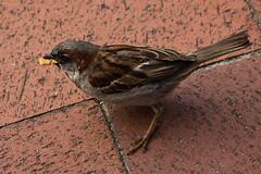 IMG_4802 (Lightcatcher66) Tags: spatzensparrows florafauna makros lightcatcher66