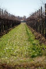 Convergenza (s81c) Tags: lines linee vineyard vigneto meadow prato grass erba countryside campagna autumn fall autunno italy italia veneto corbolone sanstinodilivenza