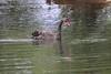 Black Swan (Robert Treichler) Tags: glenorchy boardwalk trail otago new zealand black swan