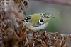 Goldcrest, Regulus regulus (Nigel Blake, 15 MILLION views! Many thanks!) Tags: goldcrest regulusregulus birdphotography bird nature wildlife ornithology small tiny nigel nigelblake nigelblakephotography naturalhistory