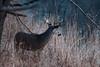 Overlook (jmishefske) Tags: wehr nikon nature d500 center whitnall milwaukee franklin january antler wildlife rack wisconsin whitetail 2018 buck deer park