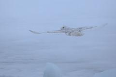 Snowy Owl (Dan Tristram Photography) Tags: snowy owl snowyowl buboscandiacus