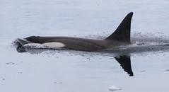 Small type B Killer Whale (Med Gull) Tags: antarctic zegrahm cruise neko harbour peninsula nekoharbour antarcticpeninsula killer whale orca killerwhale