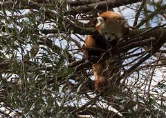 Red Panda V (PuffinArt) Tags: redpanda pandavermelho pandapequeno firefox tree animal ailurusfulgens animalpark nikon d500 nikkor 18200 vr vandamalvig puffinart