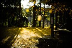 Arise (LOVEducation) Tags: japan autumn shiga nagahama leica m9 noctilux 50mm f10 yellow ginkgo maple sunset wind arise