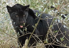 jaguar artis BB2A9448 (j.a.kok) Tags: jaguar jaguarcub jaguarwelp zwartejaguar blackjaguar artis animal kat cat mammal zoogdier dier southamerica zuidamerika predator