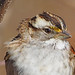 White-throated Sparrow - Zonotrichia albicollis, Veteran's Park, Woodbridge, Virginia