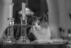 Pussel  the Cat can handle a candle or two (m3dborg) Tags: cat kitten cute beautiful monochrome candle candles bokeh animal indoor indoors natural light closeup