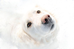 Snow Dog (LupaImages) Tags: dog snow white canine eyes nose cold march fur animal beauty lips love pet
