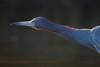 It's A Stretch (gseloff) Tags: littleblueheron bird feeding animal wildlife nature water bayou horsepenbayou pasadena texas kayak gseloff