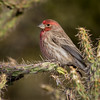 House Finch (Turk Images) Tags: carpodacusmexicanus housefinch saguaronationalparktucsonmountaindistrict arizona birds desert fringillidae hofi tucson winter
