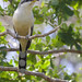 Mangrove Cuckoo, Coccyzus minor_199A3144